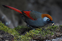 Red-tailed Laughingthrush, Trochalopteron milnei, searching for food on the ground in Baihualing, Gaoligongshan, Yunnan, China
