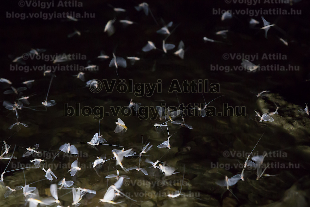 Swarming of the mayfly (Ephoron virgo) returned to river Danube after four decades of absence in Tahitotfalu (some 32 km north from the capital city Budapest), Hungary on August 24, 2013. ATTILA VOLGYI