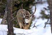 Mule deer buck in winter in Yellowstone National Park