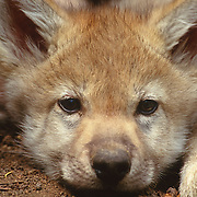 A portrait of a gray wolf (Canis lupus) pup at the entrance of a den, Montana. Captive Animal
