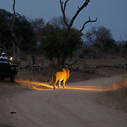 African Lion, large male passes by a safari vehicle of tourists, South Africa