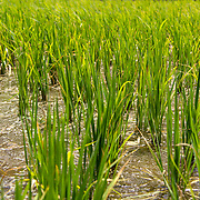 The green shoots of growth and potential: rice paddy, Borg-Meghezil.