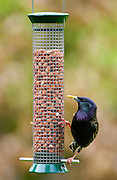 Starling on a birdfeeder in a garden pecking at peanuts, Cotswolds, England