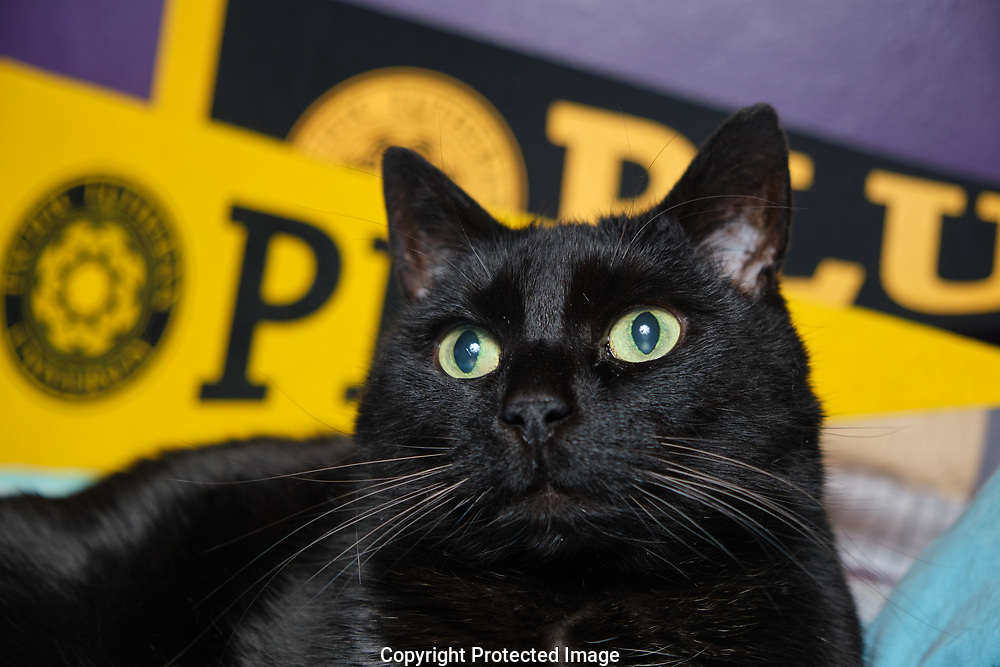 Squidge the cat hangs out with PLU pennants, Tuesday, March 31, 2020, in Tacoma. (Photo/John Froschauer)