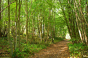 Path through Woodland, Ranscombe Farm Nature Reserve, Kent UK, Silver Birch Betula pendula, glade, walkway, green