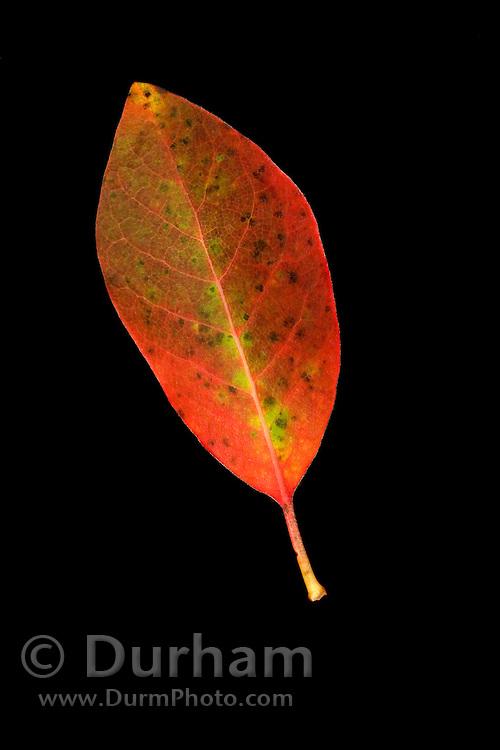 The leaf of a balck tupelo (Nyssa sylvatica) in fall.