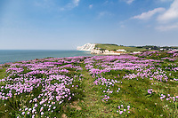 Pink Thrift wildflowers on the cliffs at Freshwater Bay on the Isle of Wight.