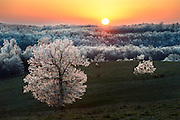 Ice clings to an lone Red Oak as the sun sets in Fulton County, Arkansas.