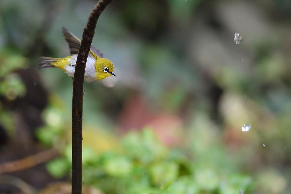 Warbling, or Japanese white-eye, Zosterops japonicus, Tongbiguan Nature Reserve, Dehong, Yunnan, China
