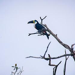 Tucano-de-bico-preto (Ramphastos vitellinus) fotografado em Goiás - Centro-Oeste do Brasil. Bioma Cerrado. Registro feito em 2015.<br /> ⠀<br /> ⠀<br /> <br /> <br /> <br /> <br /> ENGLISH: Channel-billed Toucan photographed in Goias - Midwest of Brazil. Cerrado Biome. Picture made in 2015.