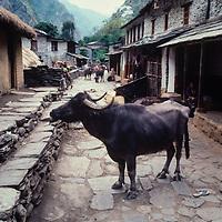 A water buffalo oin the streets of a village in the Kali Gandaki Gorge, Nepal.