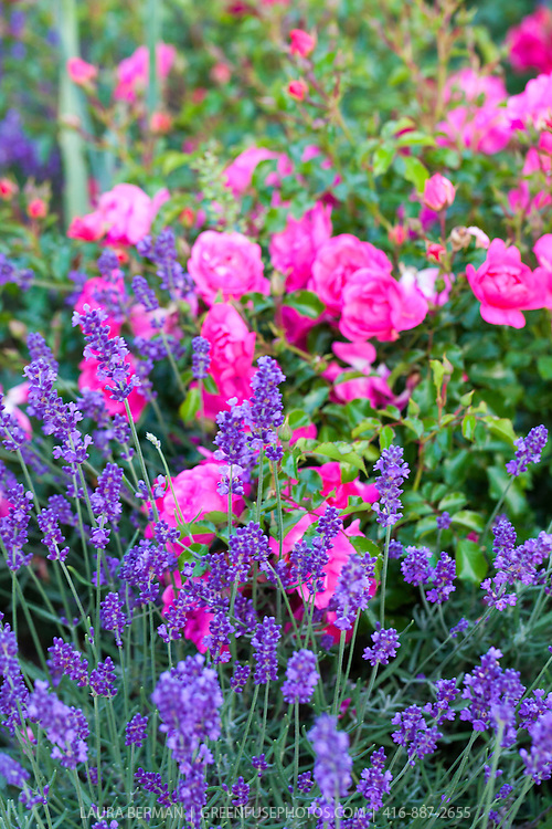 Munstead English lavender interplanted among roses.