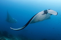 Pelagic Mantas near a cleaning station<br /> <br /> Shot in Raja Ampat Marine Protected Area West Papua Province, Indonesia