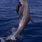 Bottlenose Dolphin, (Tursiops truncatus) Jumping in the waters of the Gulf of Mexico. Honduras.  Controlled Conditons.