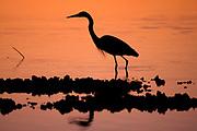 Great Blue Heron (Ardea herodias) wades in sunset waters.  Florida, USA