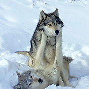 Gray Wolf, (Canis lupus) Show of dominance among pack. Rocky mountains. Montana. Captive Animal.