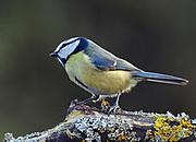 Blue Tit, Parus Caeruleus, perched on lichen covered branch in Lancashire, UK