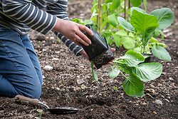 Planting out Cabbage 'Duncan' plants