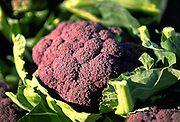 Close up selective focus photograph of a couple heads of Purple Cauliflower