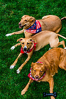 """Best dog friends, known as """"The Three Amigos"""" dressed up for Fourth of July, Littleton, Colorado USA."""