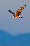 A red-tailed hawk (Buteo jamaicensis) hunts while flying near Edison, Washington.