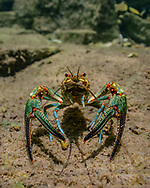 Longpincered Crayfish<br /> <br /> Isaac Szabo/Engbretson Underwater Photography