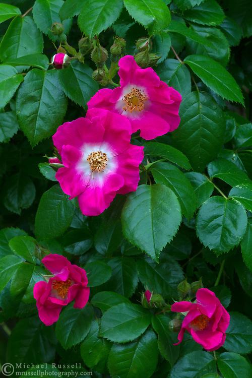 "The Rambler Rose ""American Pillar"""