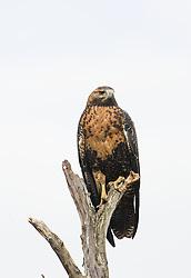 Black-chested Buzzard-Eagle (Geranoaetus melanoleucus) - immature, in Tierra del Fuego, Argentina
