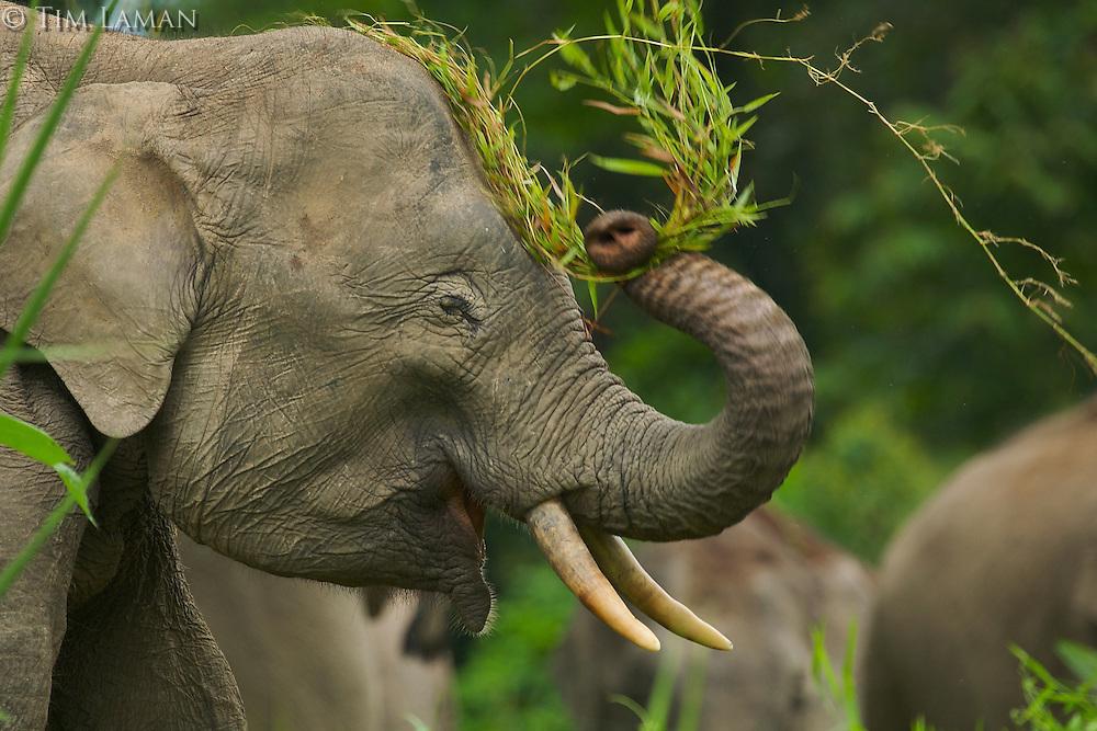 Young male Borneo Pygmy Elephant Borneo Pygmy Elephant (Elephas maximus borneensis) slaps his head with vegetation held in his trunk.
