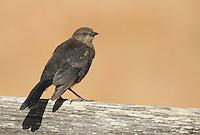Female Brewer's blackbird, Euphagus cyanocephalus, Point Reyes National Seashore, California