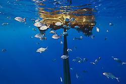 Bigeye jacks, Caranx sexfasciatus, and brown chubs or grey sea chubs, Kyphosus bigibbus, aggregating around abandoned fishing net offshore, Kona Coast, Big Island, Hawaii, USA, Pacific Ocean