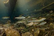 Cutthroat Trout<br /> <br /> Fernando Lessa/Engbretson Underwater Photography