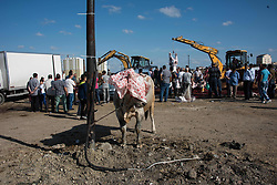 People look at cattle at a livestock market during Eid al-Adha celebrations in Istanbul, Turkey on August 21, 2018. Muslims across the world are celebrating the annual festival of Eid al-Adha or the festival of sacrifice which marks the end of the Hajj pilgrimage to Mecca and commemorates prophet Abraham's readiness to sacrifice his son to show obedience to God.Photo by Depo Photos/ABACAPRESS.COM