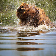 A brown bear shakes in the water for a slough after cooling off in the warm summer air in Lake Clark National Park Alaska.