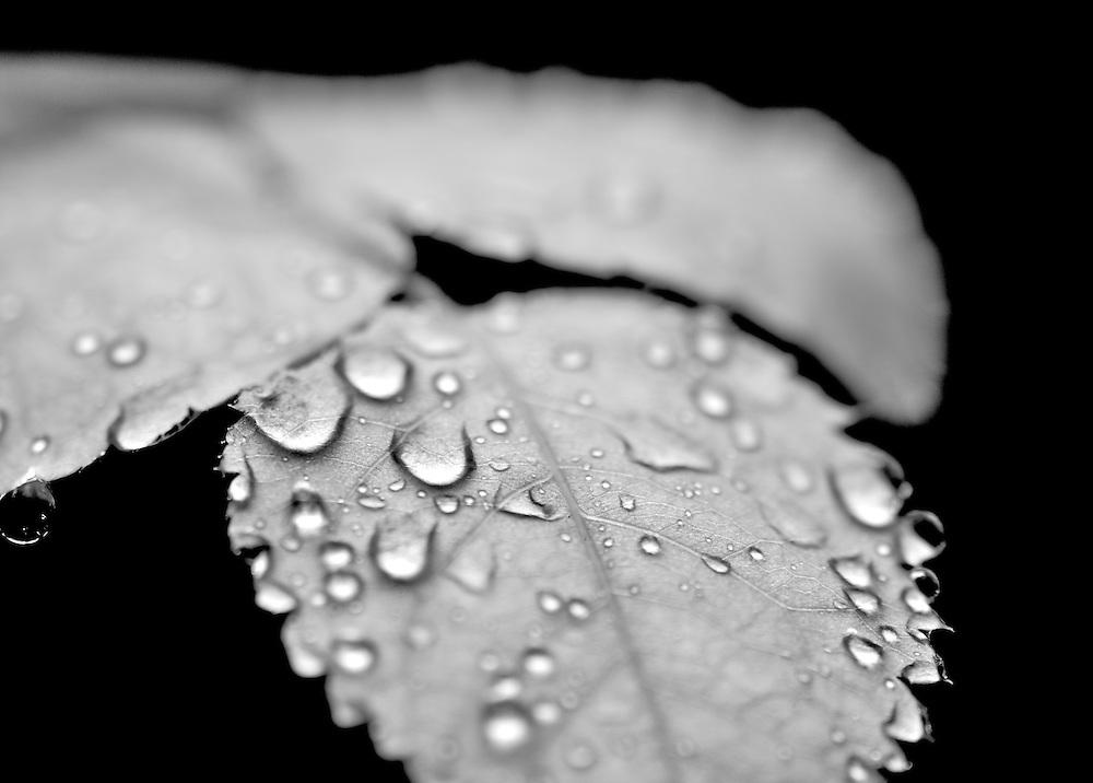 Shooting in garden where I live, I spent the day shooting a new rose bush in a pot that had no flowers yet on it. It was a gentle rain and this made the droplets like tiny pearls suspended on the leaves.