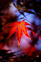 A Japanese Maple leaf at the end of the season.
