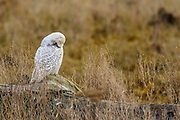Maintaining feathers in critical for birds.  This Snowy Owl worked on the feathers of its wing and breast, gradually pulling them and stratighting barbules