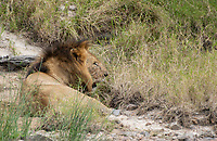 A male Lion, Panthera leo  melanochaita, rests in a streambed in Maasai Mara National Reserve, Kenya