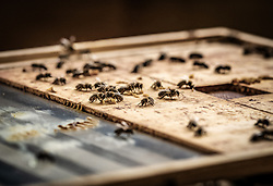 THEMENBILD - Bienen sitzen auf einem Holzbrett in der Imkerei, aufgenommen am 12. Juni 2019, Piesendorf, Österreich // Bees sit on a wooden board in beekeeping on 2019/06/12, Piesendorf, Austria. EXPA Pictures © 2019, PhotoCredit: EXPA/ Stefanie Oberhauser