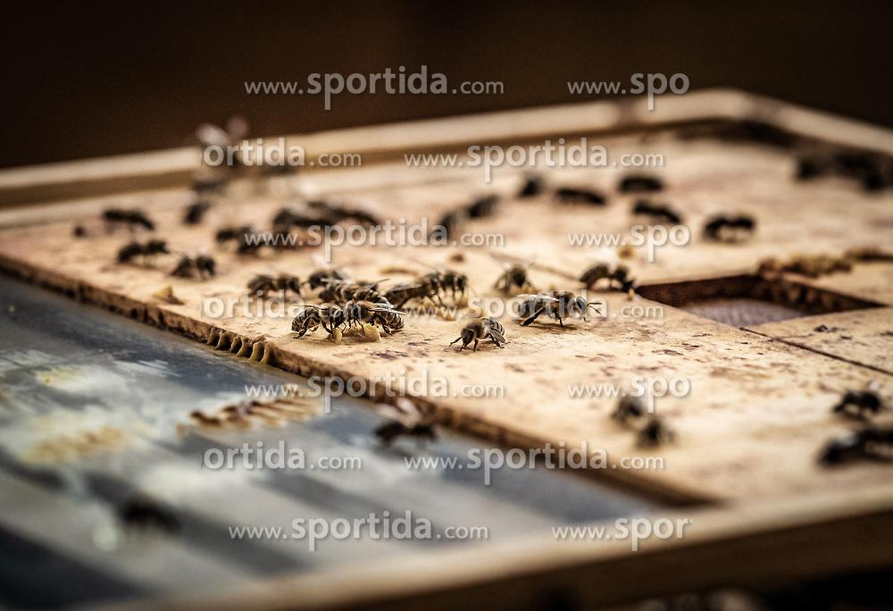 THEMENBILD - Bienen sitzen auf einem Holzbrett in der Imkerei, aufgenommen am 12. Juni 2019, Piesendorf, Österreich // Bees sit on a wooden board in beekeeping on 2019/06/12, Piesendorf, Austria. EXPA Pictures © 2019, PhotoCredit: EXPA/ Stefanie Oberhauser