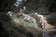 """Dogs in pursuit of a deer.<br /> <br /> <br /> """"The Pose and the Prey""""<br /> <br /> Hunting in my imagination was always more like taxidermy — as if the prey was just a mere accessory of the hunter's pose for his heroic photograph — the real trophy.<br /> <br /> When I decided to document the daily lives of Portuguese hunters, I had in my memory the """"cliché"""" from the photographer José Augusto da Cunha Moraes, captured during a hippopotamus hunt in the River Zaire, Angola, and published in 1882 in the album Africa Occidental. The white hunter posed at the center of the photograph, with his rifle, surrounded by the local tribe.<br /> <br /> It was with this cliché in mind that I went to Alentejo, south of Portugal, in search of the contemporary hunters. For several months I saw deer, wild boar, foxes. I photographed popular hunting and private hunting estates, wealthy and middle class hunters, meat hunters and trophy hunters. I photographed those who live from hunting and those who see it as a hobby for a few weekends during the year. I followed the different times and moments of a hunt, in between the prey and the pose, wine and blood, the crack of gunfire and the murmur of the fields .<br /> <br /> I was lucky, I heard lots of hunting stories. I found an essentially old male population, where young people are a minority. Hunters, a threatened species by aging and loss of economic power caused by the crisis in the South of Europe.<br /> <br /> The result of this project is this series of contemporary images, distant from the """"cliche"""" of 1882.<br /> <br /> — Antonio Pedrosa"""