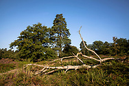 pine trees in the Wahner Heath on Fliegenberg hill, fallen tree, Troisdorf, North Rhine-Westphalia, Germany.<br /> <br /> Kiefern in der Wahner Heide am Fliegenberg, gefallener Baum, Troisdorf, Nordrhein-Westfalen, Deutschland.