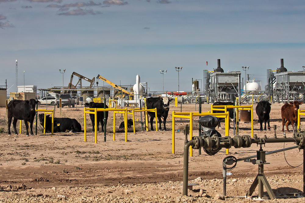Cattle at an oIl and gas facilities  in  New Mexico's Permain Basin in Eddy County.  just off Highway 285 know as the Highway of death due to a high number of accdients on a road connecting Pecos Texas and Carlsbad New Mexico