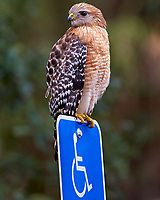 Hawk Guarding the Handicapped Parking Space at a Park in St. Petersburg, Florida. Image taken with a Nikon Df camera and 300 mm f/4 lens (ISO 2200, 300 mm, f/4, 1/1250 sec).