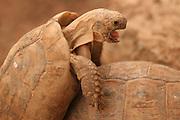 Spur-thighed Tortoise or Greek Tortoise (Testudo graeca) Mating. Israel October 2009