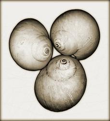 northern moon snail shell, scientific name Lunatia heros