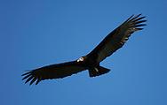 Greater Yellow-headed Vulture (Cathartes melambrotus), Pantanal, Brazil.