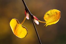 Backlit emerging leaves of Cercidiphyllum japonicum f. pendulum. Pendulous katsura