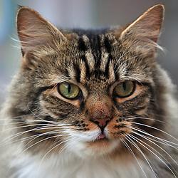 A domesticated pet cat.