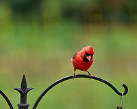 Northern Cardinal. Image taken with a Leica SL2 camera and Sigma 100-400 mm lens